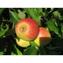 Apfel -Elstar-